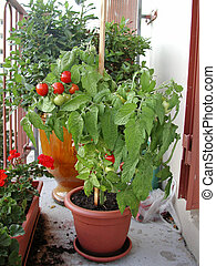 tomatoes out of pot on a balcony - tomatos out of pot on a...