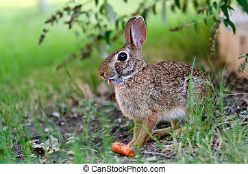 Cottontail rabbit eating carrot - Cottontail rabbit bunny...
