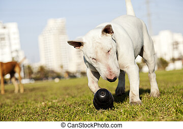 Bull Terrier with Chew Toy in Park - Bull Terrier dog caught...