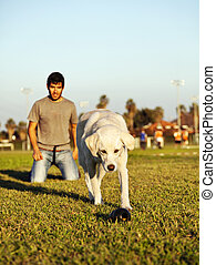 Labrador Running After Chew Toy in Park - A mixed Labrador...