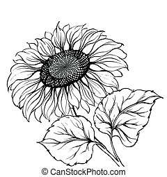 Sunflower - Sunflower isolated over white Vector...