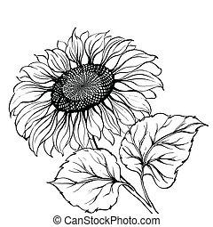 Sunflower. - Sunflower isolated over white. Vector...