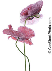 poppy - Studio Shot of Magenta Colored Poppy Flowers...