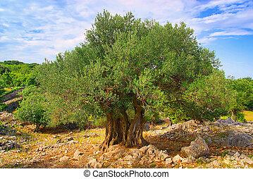 azeitona,  08, árvore, tronco
