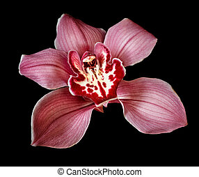 Purple Orchid Flower isolated on black background