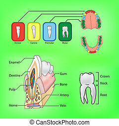 Types and structure of teeth - Types of teeth and external...