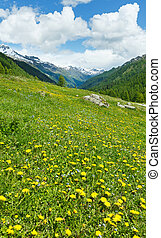 Yellow dandelion flowers on summer mountain slope