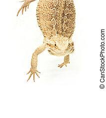 lizard pogona viticeps handing on tail on white background