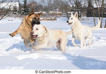 Three playing dogs in winter - Three playing dogs German...