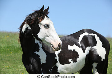 Paint horse stallion - Portrait of Paint horse stallion in...
