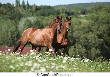 Two horses moving and looking - Two brown horses running in...