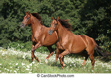 Two brown horses running in flowers with trees behind