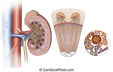 Kidney Elements - Descriptive image and schematic of the...