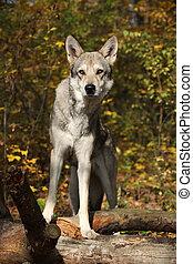 Saarloos Wolfhound bitch standing in autumn forrest