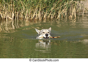Swimming Saarloos Wolfhound with wooden stick with plenty of...