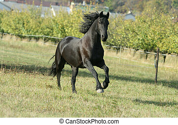 Running Friesian horse in meadow with trees behind