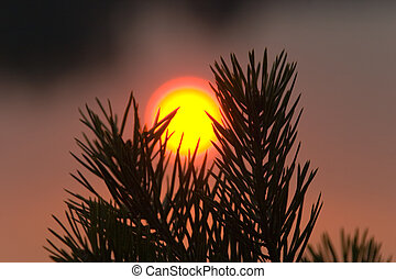 Sun between pine branches - Setting sun with halo over...