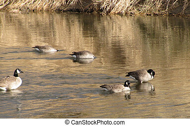 Canadian Geese in the North Platte River in Casper, Wyoming.