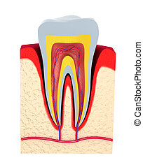 Section of the tooth. pulp