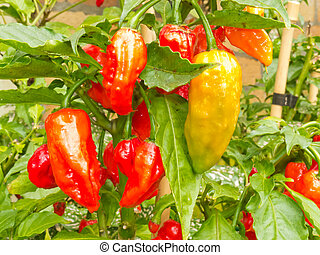 Specialty peppers Ghost Chili ripe to harvest - Specialty...