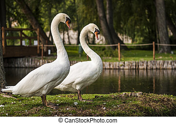 swans on pond,  in sunny day, nature series