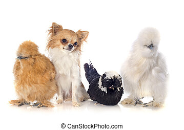 bantam chicken and chihuahua - bantam silkies, dutch bantam...