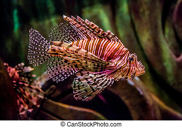 Close up view of a venomous Red lionfish - Lionfish in a...
