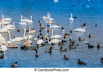 A lot of ducks, swans on the lake - A lot of ducks, swans...