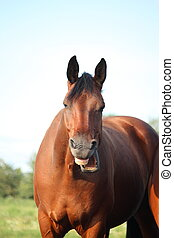 Yawning funny bay horse portrait in summer