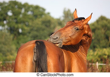Brown horse scratching itself on the pasture - Funny brown...