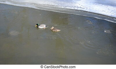 mallard swim river winter - couple of male and female...