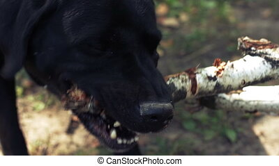 Black labrador gnawing a stick.