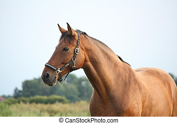 Beautiful bay horse portrait in summer at the pasture