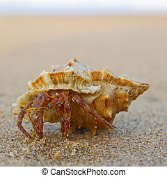 hermit crab on the beach in Varkala, India