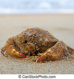 Funny crab with long hair on the beach in Varkala, Kerala,...