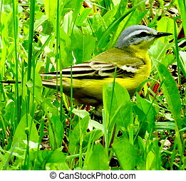 Yellow wagtail - The yellow wagtail hid in a green grass...