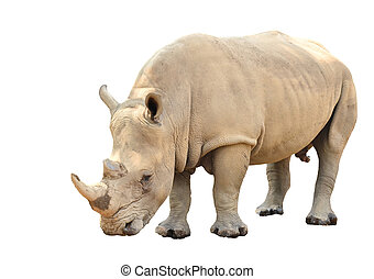 white rhinoceros isolated on white background