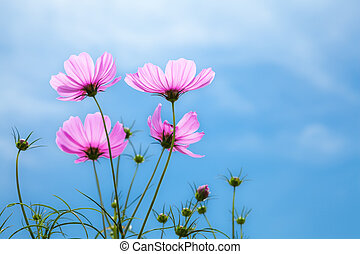 flowers cosmo. - flowers cosmos against the blue sky.(...
