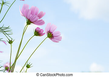 Pink flowers. - flowers cosmos against the blue sky.( Cosmos...