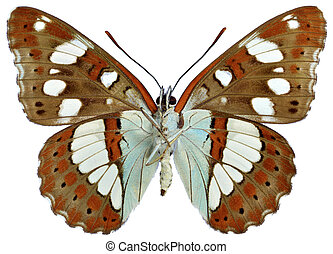 Isolated Southern White Admiral butterfly (Limenitis...