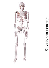 Skeleton isolated on the white background