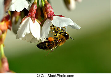 cherry-blossom honey bee collects - flower and bees on a...