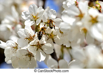 cherry-blossom honey bee collects - flower and bees on white...