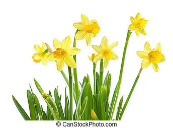 Spring Flowers - Isolated Daffodils - Yellow daffodils,...