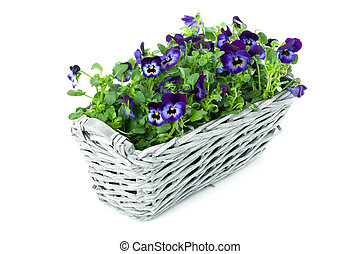 Sweet Pansies in Plait Basket - Plait Basket with violett...