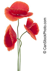 poppy - Studio Shot of Red Colored Poppy Flowers Isolated on...