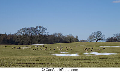 a herd of european fallow deer
