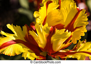 Parrot tulip - Bizar red and yellow tulip like a parrot