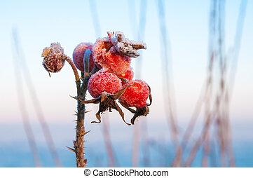 Rose hips covered with ice