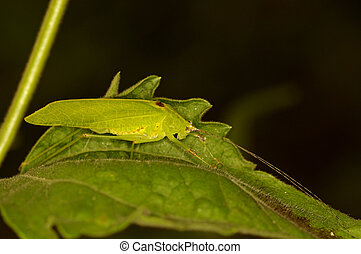 katydid is staying on the green leaf
